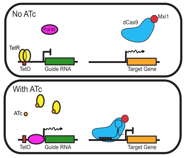tetracycline inducible CRISPRi in yeast