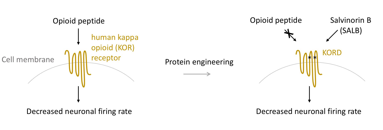 Mechanism of KORD